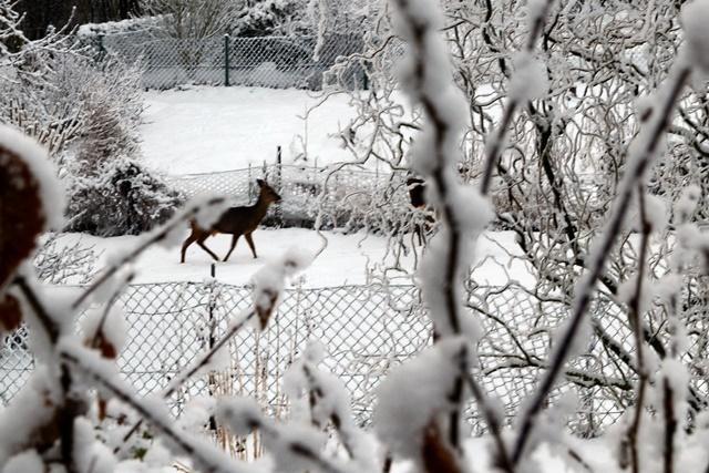 Wildverbiss im Kleingarten